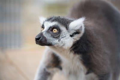Jeremiah Lemur
