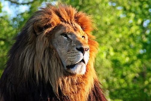 lions_ra