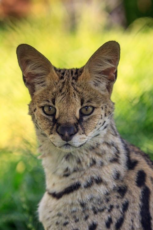 Lena serval portrait