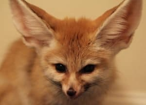 Fennec Resident