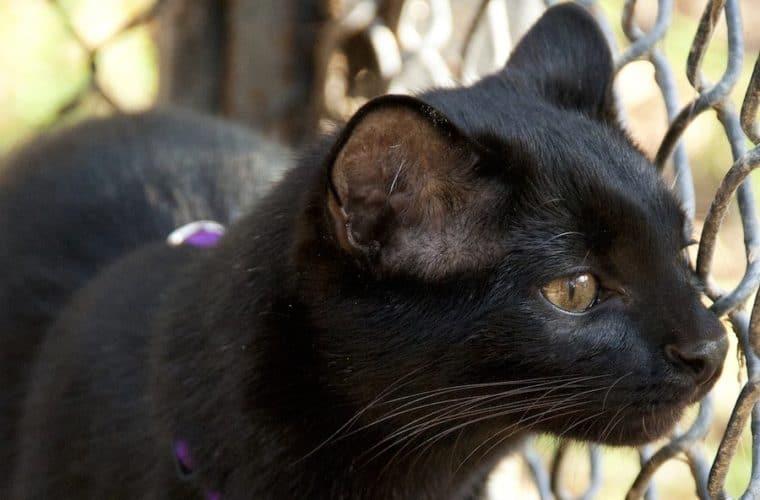 Geoffroy's Cats