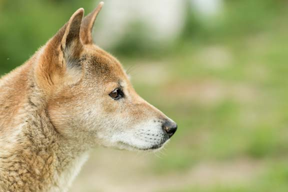 New Guinea Singing Dog, Canis hallstromi
