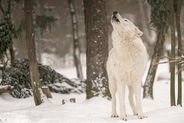wolves_trekkie (1)
