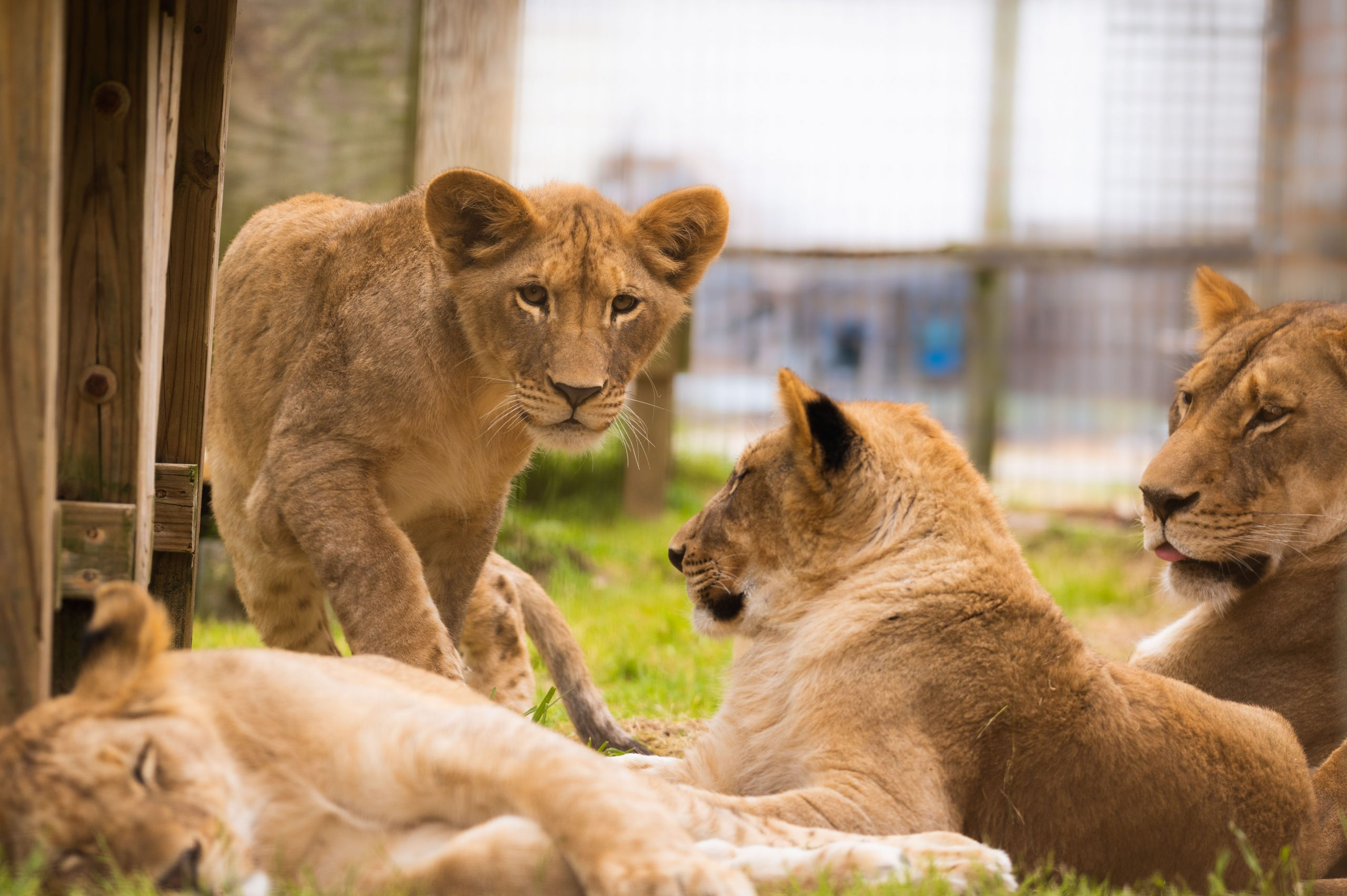 Wild About Lions: Naomi & Sons