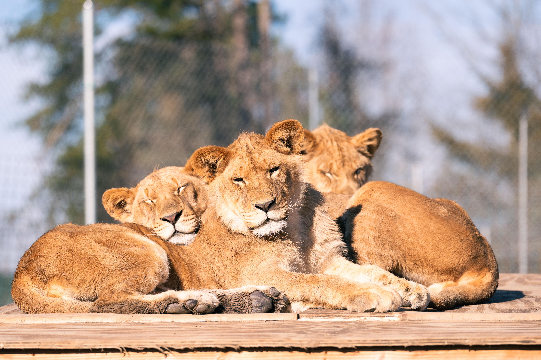 Kabaka_Omot_Jabari_Lions_2020_December_Komondy