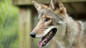 Sullivan Coyote